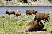 Herd Of Bison  In Yellowstone National Park Usa