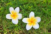 Plumeria Or Frangipani Flowers On Green Grass