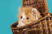 stock photo of puss  - Persian kitten - JPG