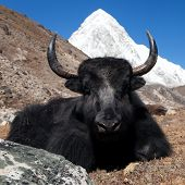 picture of yaks  - Yaks on the way to Everest base camp and mount Pumo ri  - JPG