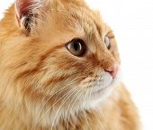 Portrait of red cat on white background