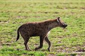 stock photo of hyenas  - A spotted hyena - JPG
