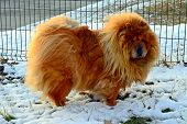 image of chow  - Chow Chow Dog Dina sun and white snow - JPG