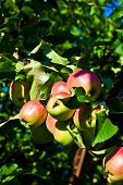 Apples Hanging On The Apple Tree