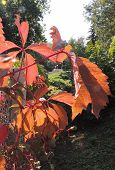 Leaves Of Parthenocissus On The Fence