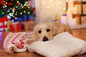 foto of labradors  - Labrador lying on plaid on wooden floor and Christmas decoration background - JPG