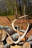 Deer Antlers resting on firewood