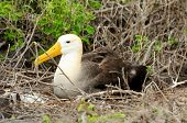 picture of albatross  - yellow headed waved albatross native to the galapagos islands - JPG