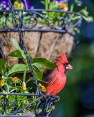stock photo of hang-gliding  - Male Cardinal perched in hanging flower basket - JPG