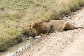 Male Lion Drinking Water From A Puddle