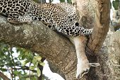 Leopard Eating Gazelle On A Tree