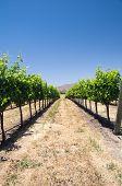 Grapevines In California Drought