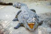 Crocodiles in a farm