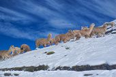 picture of alpaca  - Large herd of cute domestic alpacas on snow in high altitudes in peruvian Andes south America - JPG