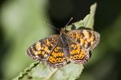 stock photo of alabama  - This is a Pearl Crescent Butterfly  - JPG