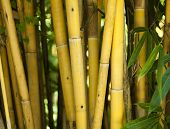 foto of photosynthesis  - Bamboo tree vertical stick - JPG