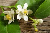 stock photo of lime-blossom  - lime blossom on wooden background  - JPG
