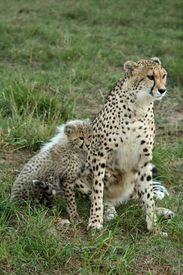 pic of baby animal  - Cheetah mom with her cub at her side - JPG