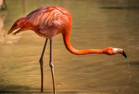 pic of pink flamingos  - pink flamingo stretched neck - JPG