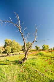 picture of windflowers  - Naked tree in a field of wild red anemone coronaria (windflower) flowers blooming in the sunny Galilee Israel after the winter rains ** Note: Soft Focus at 100%, best at smaller sizes - JPG