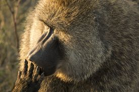 picture of finger-licking  - Closeup portrait of a back lit olive baboon licking its fingers at Serengeti National Park Tanzania - JPG