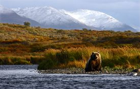 picture of grizzly bear  - kodiak brown bear fishing in karluk river - JPG