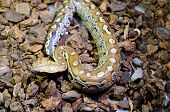 picture of python  - beautiful Blood Python  - JPG