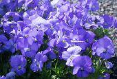 pic of viola  - Sweet purple violet flowers  - JPG
