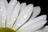 image of rain-drop  - Macro of white flower pedals with rain drops - JPG