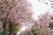 foto of trumpet flower  - flower tree in pink color pink trumpet tree - JPG