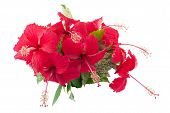 stock photo of hibiscus  - Chinese hibiscus or China rose isolated on white background and clipping path - JPG