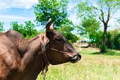 stock photo of cow head  - head of brown cow leash by nylon rope in the field - JPG