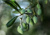 stock photo of olive trees  - Olive branch with olives to make the local greek oil - JPG