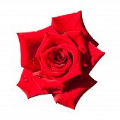 foto of single white rose  - red rose isolated on white background - JPG