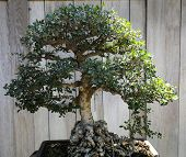 image of bonsai  - decorative Bonsai tree in a japanese garden - JPG