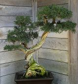 stock photo of bonsai  - isolated tree Bonsai in a japanese garden - JPG