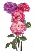 picture of purple rose  - Studio Shot of Purple and Pink Colored Rose Flowers Isolated on White Background - JPG