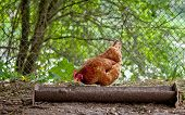 picture of poultry  - chicken on traditional free range poultry farm - JPG