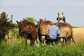 stock photo of plowing  - The back of an Amish man sitting on his plow seat behind three born horses on a bright spring day - JPG