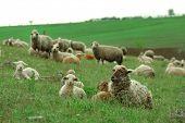 stock photo of sheep  - Sheeps grazing in meadow - JPG