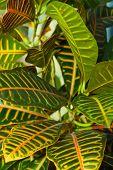 picture of crotons  - Leaves of croton tree Codiaeum  - JPG