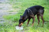 foto of miniature pinscher  - Miniature Pinscher drinks water from a transparent bowl.