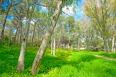 picture of eucalyptus leaves  - eucalyptus and pine trees in a green meadow in Alghero Italy - JPG