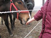 foto of feedlot  - a girl feeding a horse on a frosty feedlot - JPG
