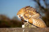 A barn owl eating a vole on a fence
