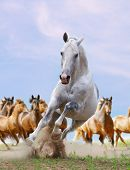 white horse and herd
