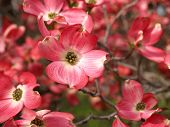 image of dogwood  - Pink Dogwood Tree Blooms at the Height of Springtime - JPG
