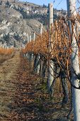 Row Of Vines In Winter