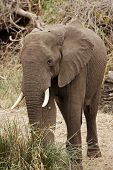Elephant In Riverine Bush