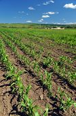 image of biogas  - Field for growing corn in the purpose of making ethanol - JPG
